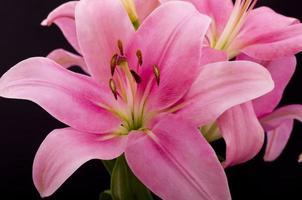 orientalische rosa Lilly