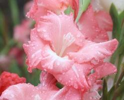 Makro-Regentropfen auf Blume, Gladiolenblume