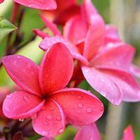 tropische Frangipani-Blüten, frische Plumeria-Blüten foto