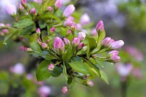 Zweig Birnen mit rosa Blüten in den Regentropfen foto