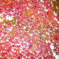orange Ahornblatt das Herbstwetter