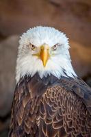 Weißkopfseeadler Porträt