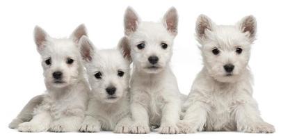 vier West Highland Terrier Welpen, sieben Wochen alt, weißer Hintergrund. foto