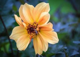 Aprikosenfarbene Rose foto