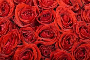 Rosen Hintergrund foto