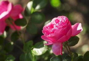 schöne rosa Rose, selektiver Fokus foto