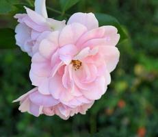 Oktober rosa Rosen foto