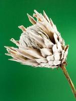 Protea Blume foto