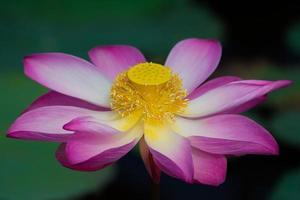 Lotusblume in voller Blüte