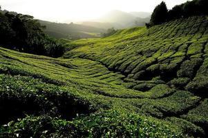 Teeplantagenfelder bei Sonnenaufgang