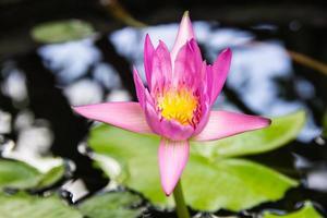 Lotus Blume foto