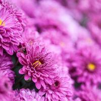 Blumen lila foto