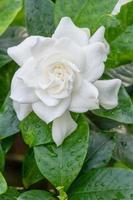 weiße Gardenienblume mit glänzenden grünen Blättern foto