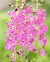 Blumen verbascum foto