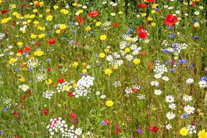wilde Blumen. foto