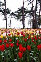 Tulpen blühen