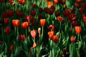 Tulpenblume foto