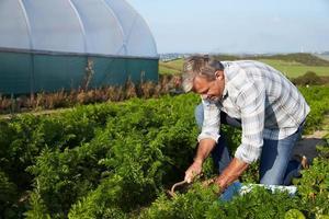 Landwirt, der organische Karottenernte auf Bauernhof erntet foto