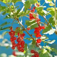 Beeren der roten Johannisbeere schließen oben auf grünem Busch foto