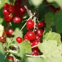 Beeren der roten Johannisbeere schließen in den grünen Blättern foto
