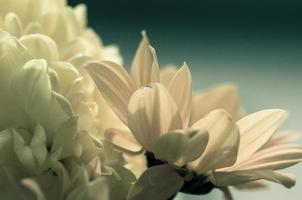 Chrysanthemenblume