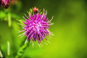 Waldblume foto