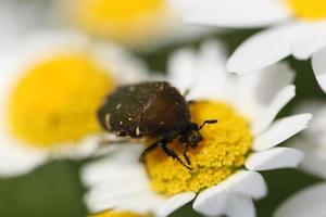 Blumenkäfer foto