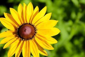 Gänseblümchenblume foto