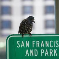 San Francisco Vogel foto