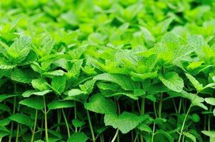 Minzpflanzen
