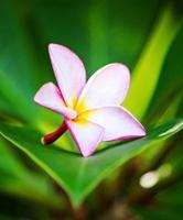 Plumeria Blume foto