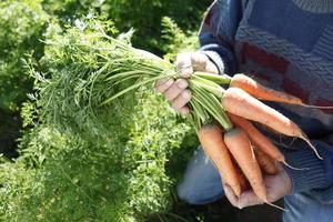 Ernte von Karotten foto