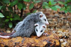 Opossum Babys foto