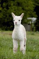 Baby Alpaka foto