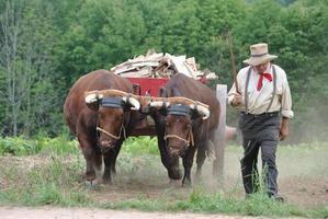 Ochsen-Team mit Fahrer foto