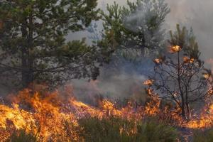 Kiefernwaldbrand