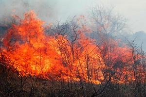trockenes Gras brennt im Wald, Frühlingstag, starker Wind foto