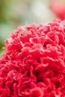 Makroschuss des Insekts auf roter Hahnenkammblume