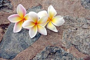 Frangipani-Blüten sind gelblich weiß auf Steinhintergrund. foto