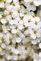 weiße Spiraea Blüten
