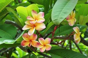 Gruppe von Frangipani-Blüten blühen foto