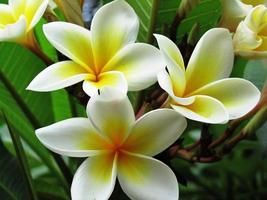 "Frangipani, Frangipani-Baum in Kenia, ""Bali-Blume"", Plumeria"