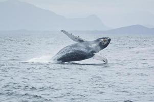 Durchbrechen des Buckelwals in der Nähe von Tofino, Vancouver Island, BC, Kanada.