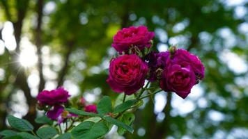 Rose namens Zigeunerjunge foto