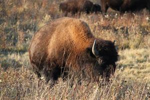 großer Büffel