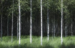 Birkenwald foto