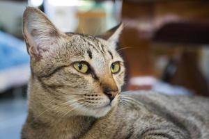 asiatische Katze foto