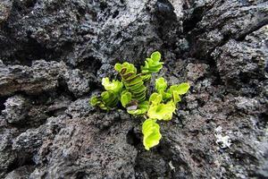 Pflanze wächst in der Lava