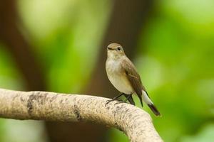 asiatischer brauner Fliegenfänger foto