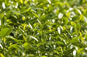 asiatischer Oolong-Teebaum